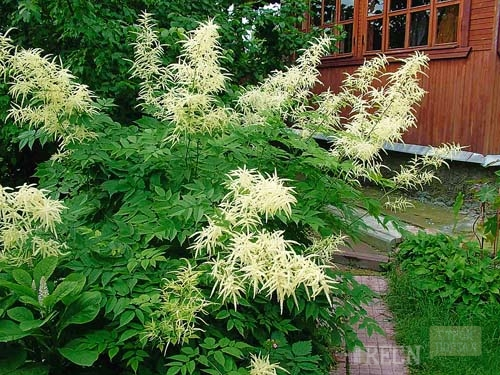 высокие цветы для сада фото