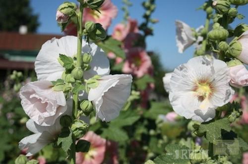 Высокие цветы садовые