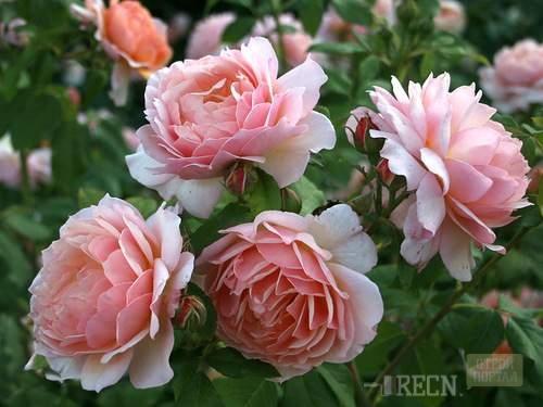 Роза английская кустовая