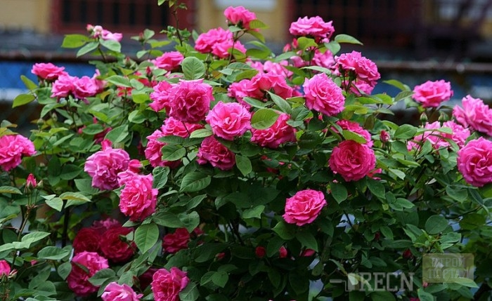 Кустовая роза садовая