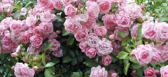 Великолепные кустовые розы, Артикул: А948155 - 14419 RUB, доставка ... | 320x700