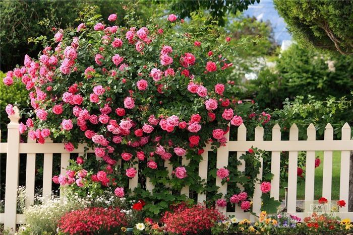 Купить розы кустовые для посадки неживые цветы сонник