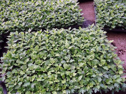 chrysanthemum3_2sazhentsi