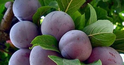 cvetushhaja-sliva-derevo-frukt-foto-8