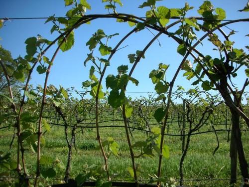 grapes-spring1
