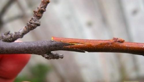 privivka-plodovogo-dereva-7