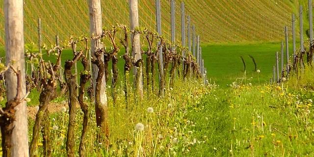 Виноград относится к растениям