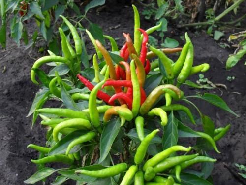 Перец горький Чили