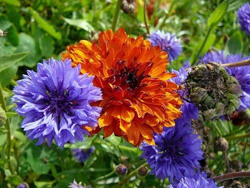 odnoletnie-sadovye-cvety
